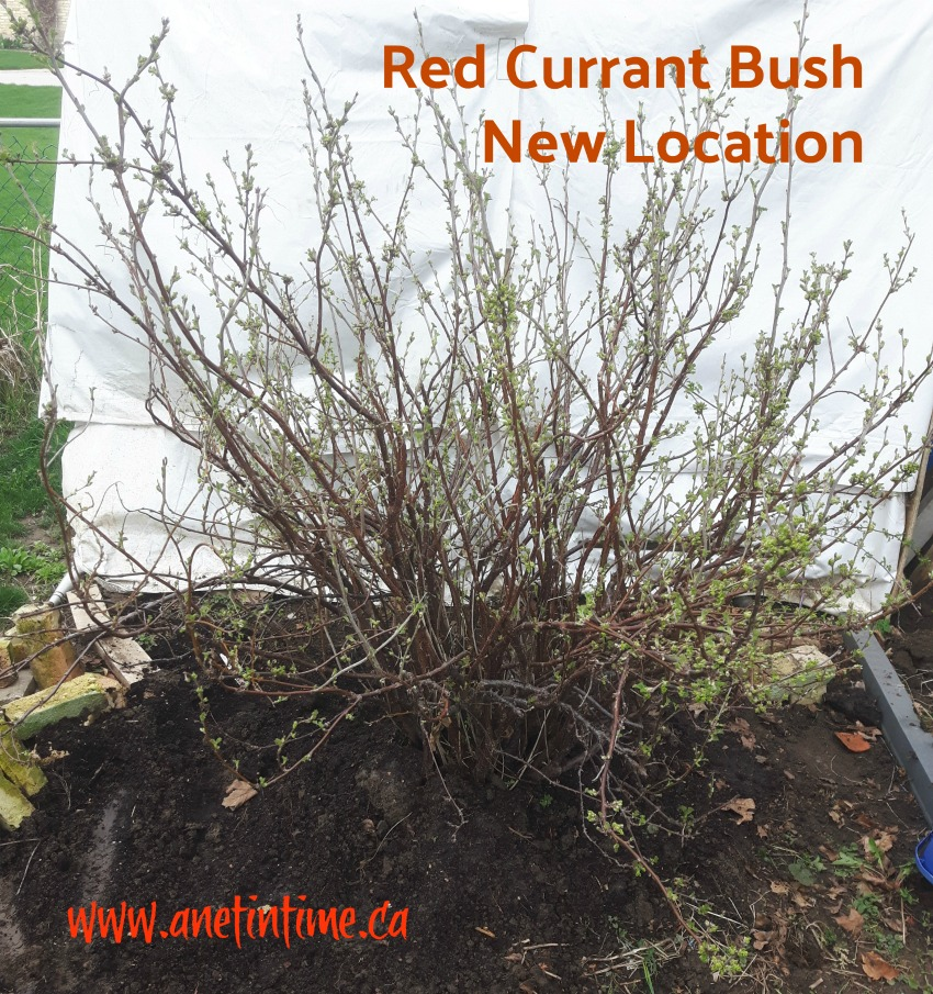 Red Currant bush, pictured in new location