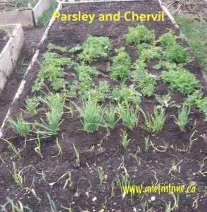 Parsley for bunnies