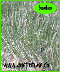 Point Pelee, wild bamboo