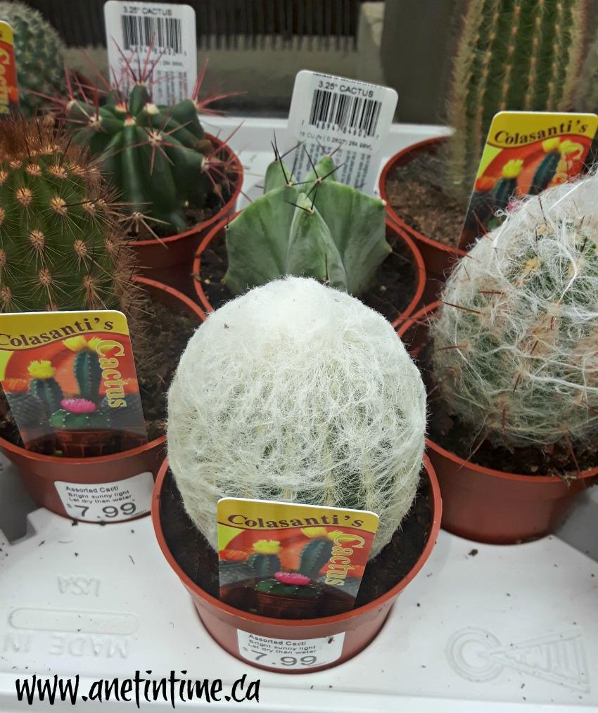belgian nursery cacti