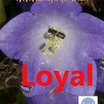 Loyal, a favourite