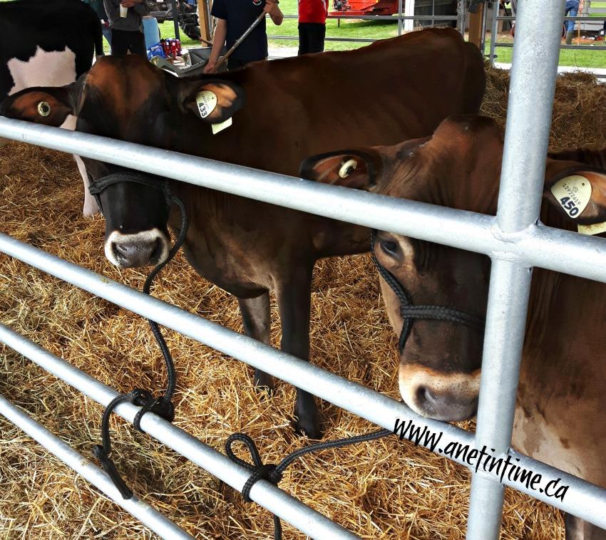 kirkton fair calves