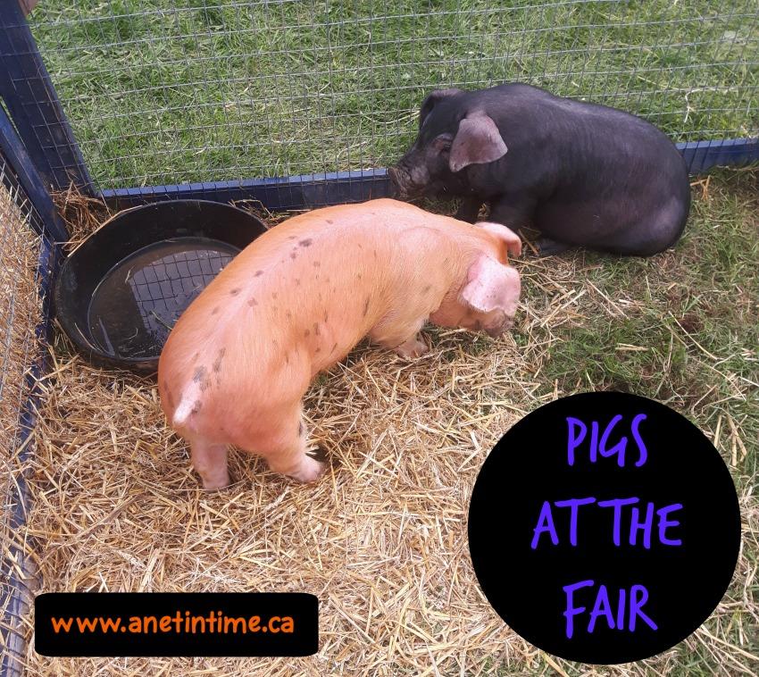 kirkton fair pigs