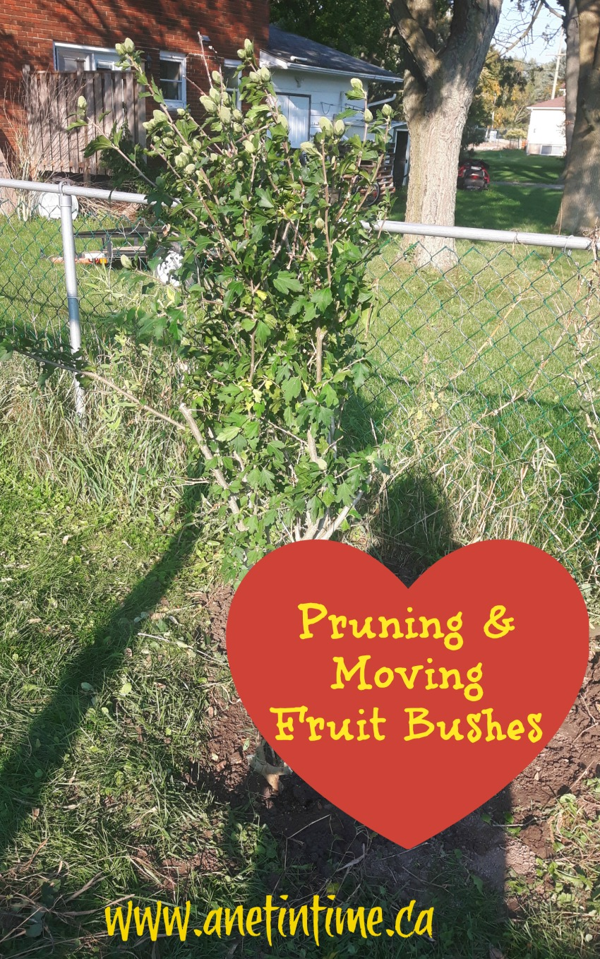 pruning and moving fruit bushes