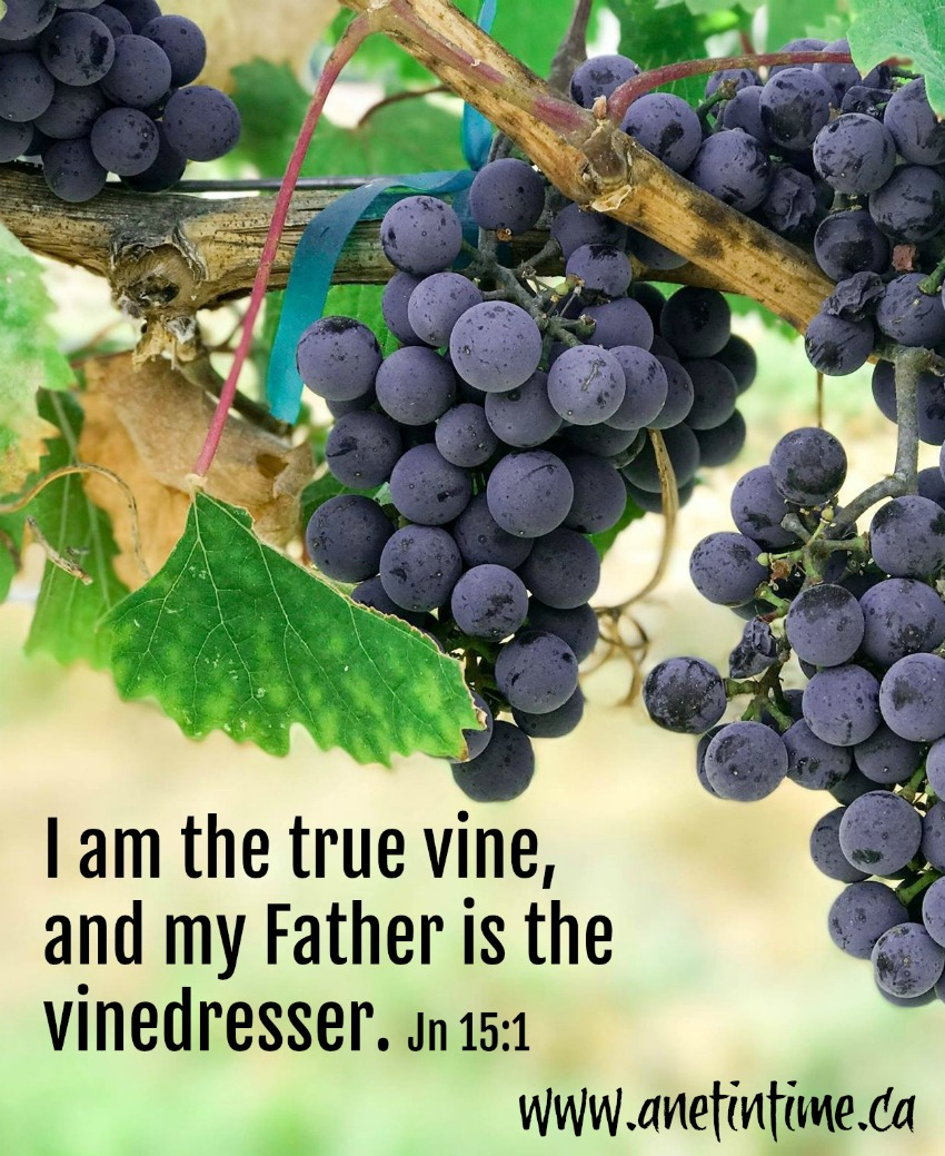 John 15:1-17 Jesus, The Vine