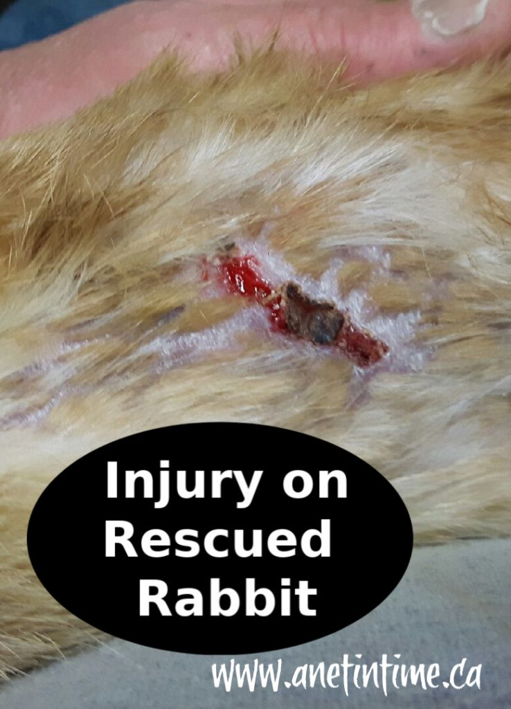 injury on rabbit
