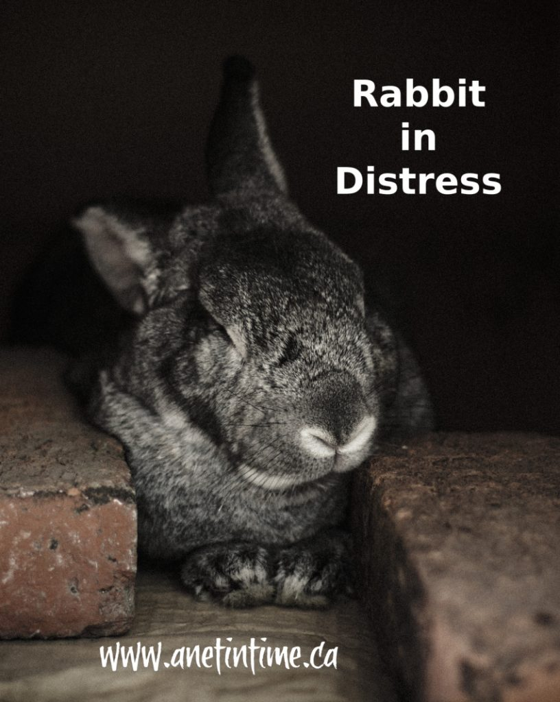 rabbit in distress