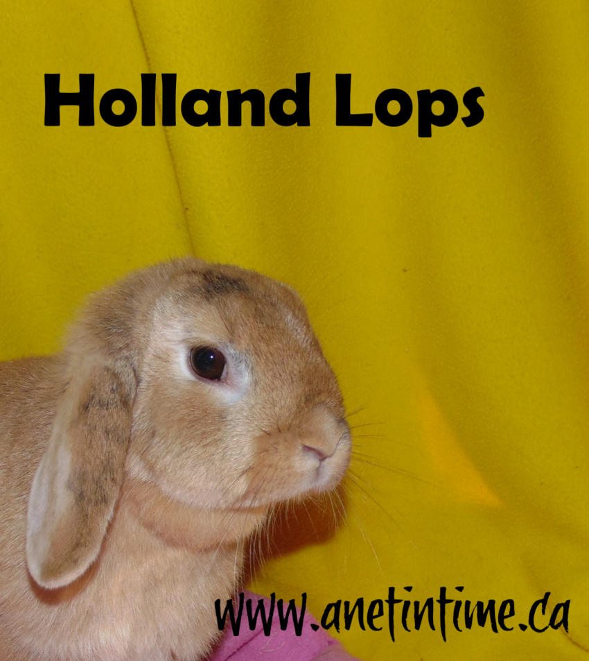 holland lops