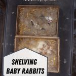 Shelving Baby Rabbits