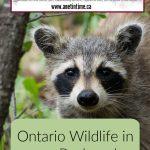 Ontario Wildlife in our Backyard